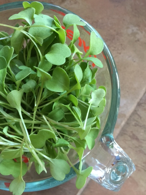 Spring fresh, arugula sprouts